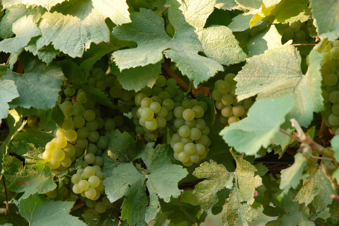 raisin blanc cave